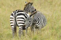 Female plains zebras mutually grooming in meadow of Masai Mara Reserve, Kenya, East Africa — стоковое фото
