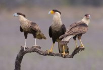 Crested caracara birds of prey perched on tree — Stock Photo
