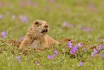 Black-tailed prairie dog at burrow in grassland meadow — Stock Photo