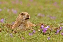 -De-cauda-preta cão da pradaria no toca no campo de pastagem — Fotografia de Stock