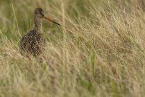 Мармуровий godwit птах ховається у пасовища луг. — стокове фото