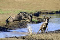 Common wildebeests jumping over river in Masai Mara Reserve, Kenya, East Africa — Stock Photo