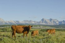 Red angus cow with calves on pasture in southwest Alberta, Canada — Stock Photo