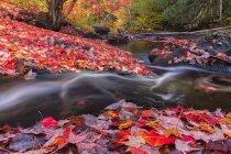 Madawaska fluss fließt durch teppich roter apfelblätter entlang weg und turmweg im algonquin park, kanada. — Stockfoto