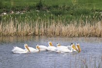 Pélicans blancs nager dans le lac Stafford, Brooks, Alberta, Canada — Photo de stock