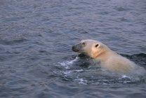 Orso polare che nuota nell'acqua del Parco Nazionale di Ukkusiksalik, Canada — Foto stock