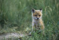 Red fox kit sitting in tall green grass. — стоковое фото