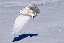 Civetta delle nevi caccia in volo sopra la prateria innevato. — Foto stock