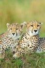 Due ghepardi che riposa sul termitaio in Masai Mara Reserve, Kenya, Africa orientale — Foto stock