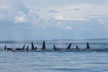 Orcas residente meridionales en agua por la isla de Pender en Canadá - foto de stock