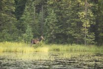 Cow Moose on lakeside in Algonquin provincial Park, Ontario, Canada — Stock Photo