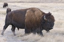American bison walking in dried grassland of North Dakota, United States of America. — Stock Photo