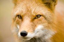 Portrait de renard roux adulte regardant à la caméra . — Photo de stock