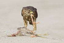 Merlin falcon perched on beach and feeding on prey, close-up — Stock Photo