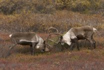 Tori di caribù sterile-terra sparring in habitat di tundra del Parco nazionale di Denali, Alaska, Stati Uniti — Foto stock