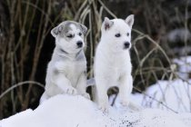 Purebred Siberian husky puppies in snow at field — Stock Photo