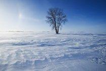 Коттонвуд дерево в снігу покриті поля поблизу Dugald, Манітоба, Канада — стокове фото