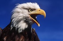Bald eagle calling with beak open outdoors. — Stock Photo