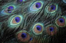 Male peacock display feathers, close-up — Stock Photo