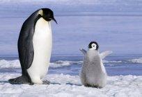 Дорослий імператорського пінгвіна з курча на снігу пагорбі острова, Weddell море, Антарктида — стокове фото