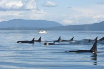 Southern resident orcas approaching tourist boat by Pender Island in Canada — Stock Photo