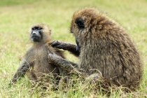 Olive baboons grooming in game reserve of Kenya, East Africa — Stock Photo