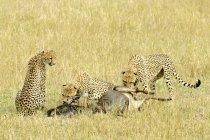 Ghepardi mangia wildebeest preda in prato di riserva di Masai Mara, Kenya, Africa orientale — Foto stock