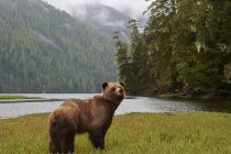 Grizzly bear standing on river bank in mountain forest, Khutzeymateen Park, Canada. — Stock Photo