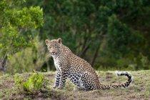 Adulto femmina di leopardo seduto in pascolo in Masai Mara Reserve, Kenya, Africa orientale — Foto stock
