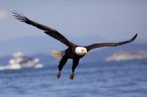 Volo sopra vista sul mare dell'uccello dell'Aquila calva — Foto stock