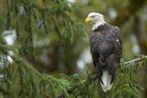 Білоголовий орлан, Підносячись на conifer дерева в лісі. — стокове фото