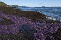 Mass of Ochre sea stars on Georgia Strait shoreline, Saturna Island, Gulf Islands, Canada — Stock Photo