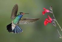 Рахунок виставляється Броуд колібрі завис поруч з квітів у тропіках. — стокове фото