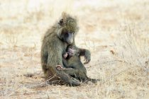 Olive baboon nursing baby animal in Kenya, East Africa — Stock Photo