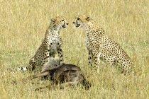 As chitas com gnus presa no Prado de reserva de Masai Mara, no Quênia, leste da África — Fotografia de Stock