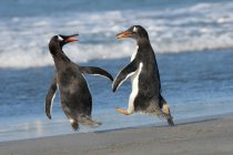 Two gentoo penguins playing and squabbling on shoreline of Falkland Islands, Southern Atlantic Ocean — Stock Photo
