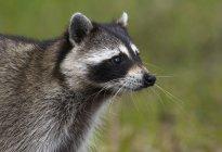Vista lateral del mapache común buscando distancia al aire libre - foto de stock