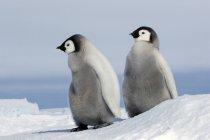 Пухнасті Імператорський пінгвін курчат на снігу, сніг пагорбі острова, Weddell море, Антарктиди — стокове фото