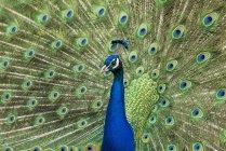 Павлин показывает красочные перья в брачном ритуале . — стоковое фото