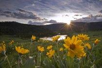 Balsamwurzel Frühlingsblumen in Lac Du Bois Grünland in der Nähe von Kamloops, Britisch-Kolumbien, Kanada — Stockfoto