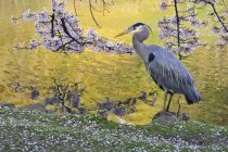 Great blue heron bird under cherry tree blossoms in wetland. — Stock Photo