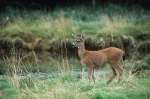 Preto – tailed Deer no verde da paisagem — Fotografia de Stock