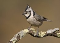 Bridled titmouse bird on perch in woods. — Stock Photo