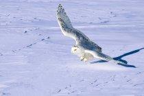 Охота Снежный филин в полете над снежной прерии. — стоковое фото