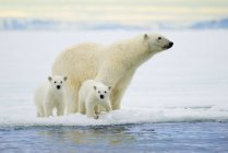 Polar bear with cubs hunting on pack ice on Svalbard Archipelago, Arctic Norway — Stock Photo