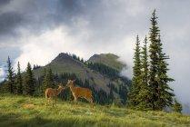 Negro: venado de cola en misty Blue Mountain, el Parque Nacional Olympic, Washington, Usa - foto de stock