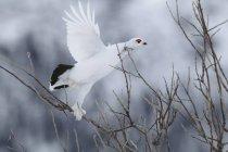 Tetraone di pernice in piume di inverno prendere il volo nel bosco. — Foto stock