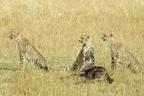 Ghepardi con GNU preda in prato di riserva di Masai Mara, Kenya, Africa orientale — Foto stock