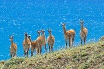 Стадо гуанако перед Lago Сармьенто в южной Патагонии, Торрес дель Пейн Национальный парк Чили — стоковое фото