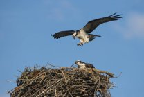 Fischadler-Habicht fliegt über Nest gegen blauen Himmel — Stockfoto